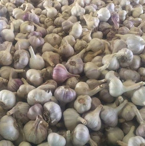 Russian Garlic - KBF Farms