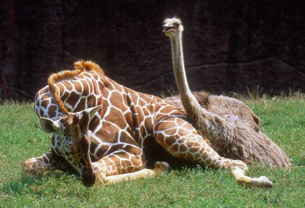 Giraffe and ostrich on grass - Enrichment Programs for Animals in Zoos & Aquariums - PAW5