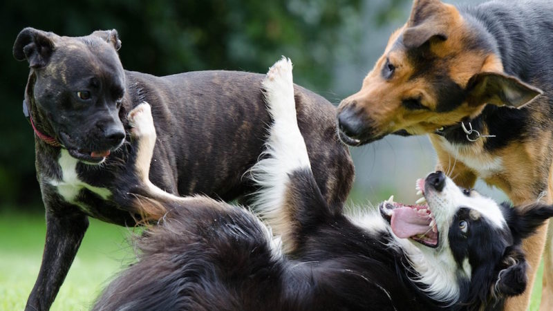 Dogs playing - Introducing the Fifth Category of Enrichment: Social - PAW5