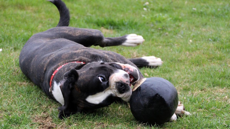 Dog chewing ball - Looking to Enrich Your Dog's Life? 6 Things to Consider. - PAW5