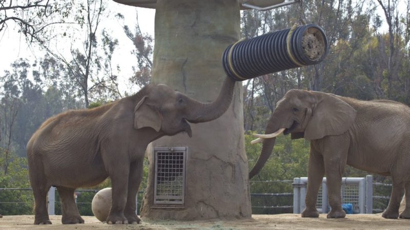 Elephants playing - 5 Fun Examples of Environmental Enrichment - PAW5