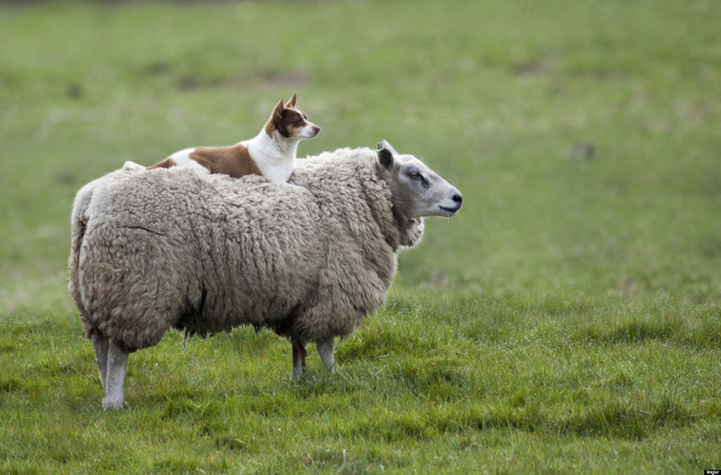 Dog on sheep - Your Dog is Smarter (and Easier to Train) Than You Think! - PAW5
