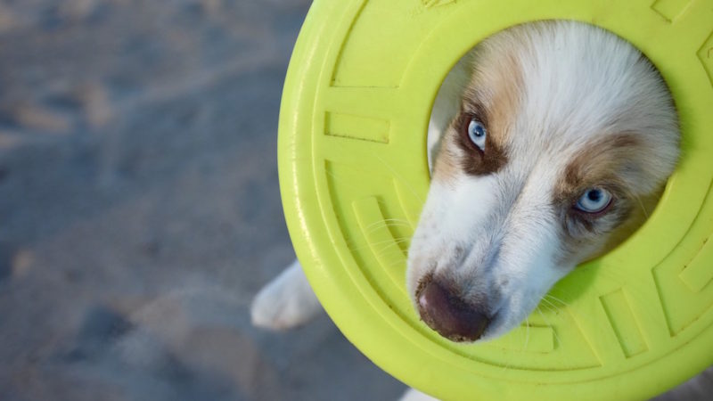 Dog closeup - Inspiring Disc and Dock Dogs (and Why They Love the Game) - PAW5