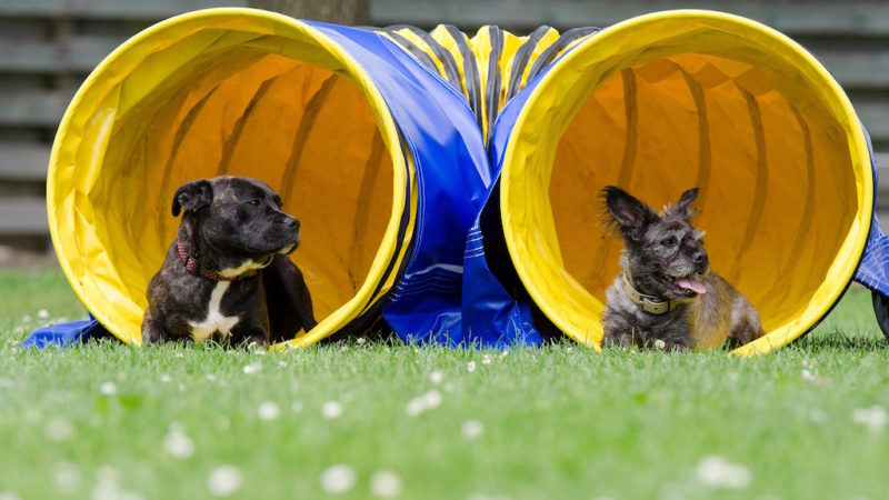 Two dogs playing - Which Dog Sport is Right For Your Pup? - PAW5