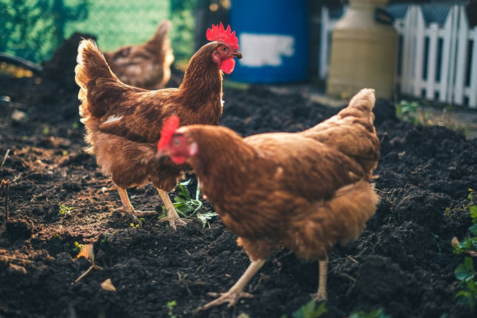 How to Start a Chicken Farm