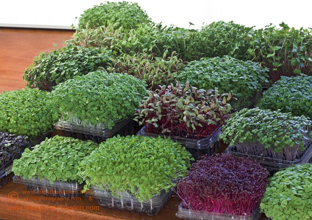 Best Microgreens to Put In Your Body