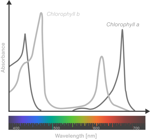 graph of where chlorophyll a and b are most efficient