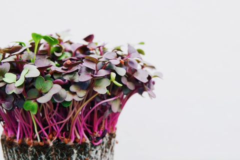 freshly grown raddish microgreens