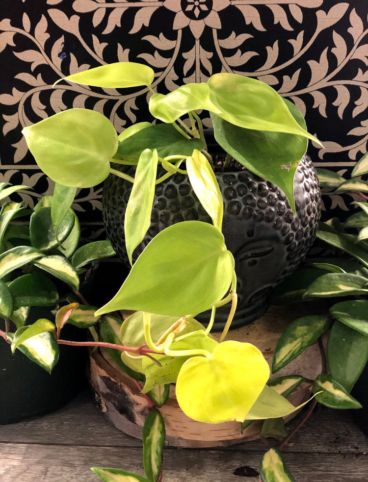Neon Philodendron