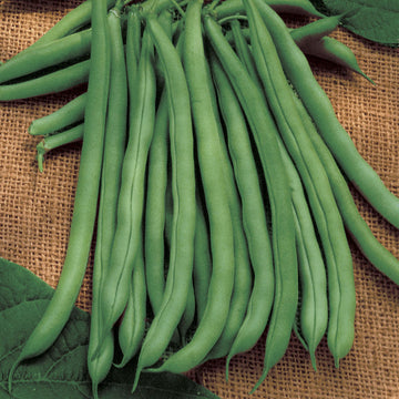 Bean, Blue Lake Pole Seeds