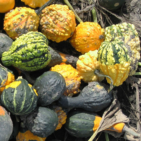 Gourd, Small Warted Mix Seeds
