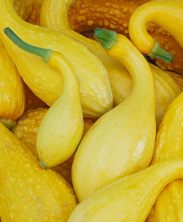 Squash, Early Summer Crook Neck Seeds