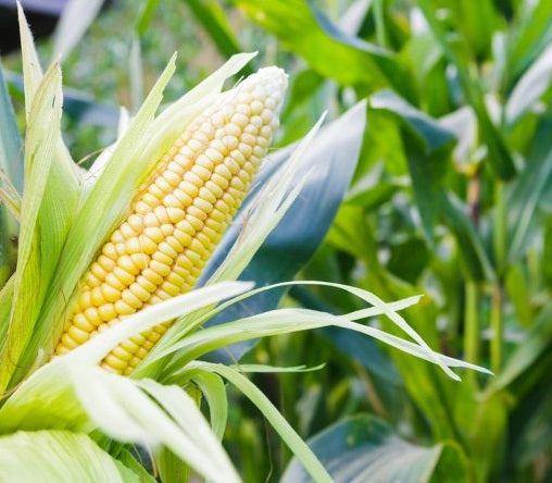Organic Sweet Corn / piece (300-350G)