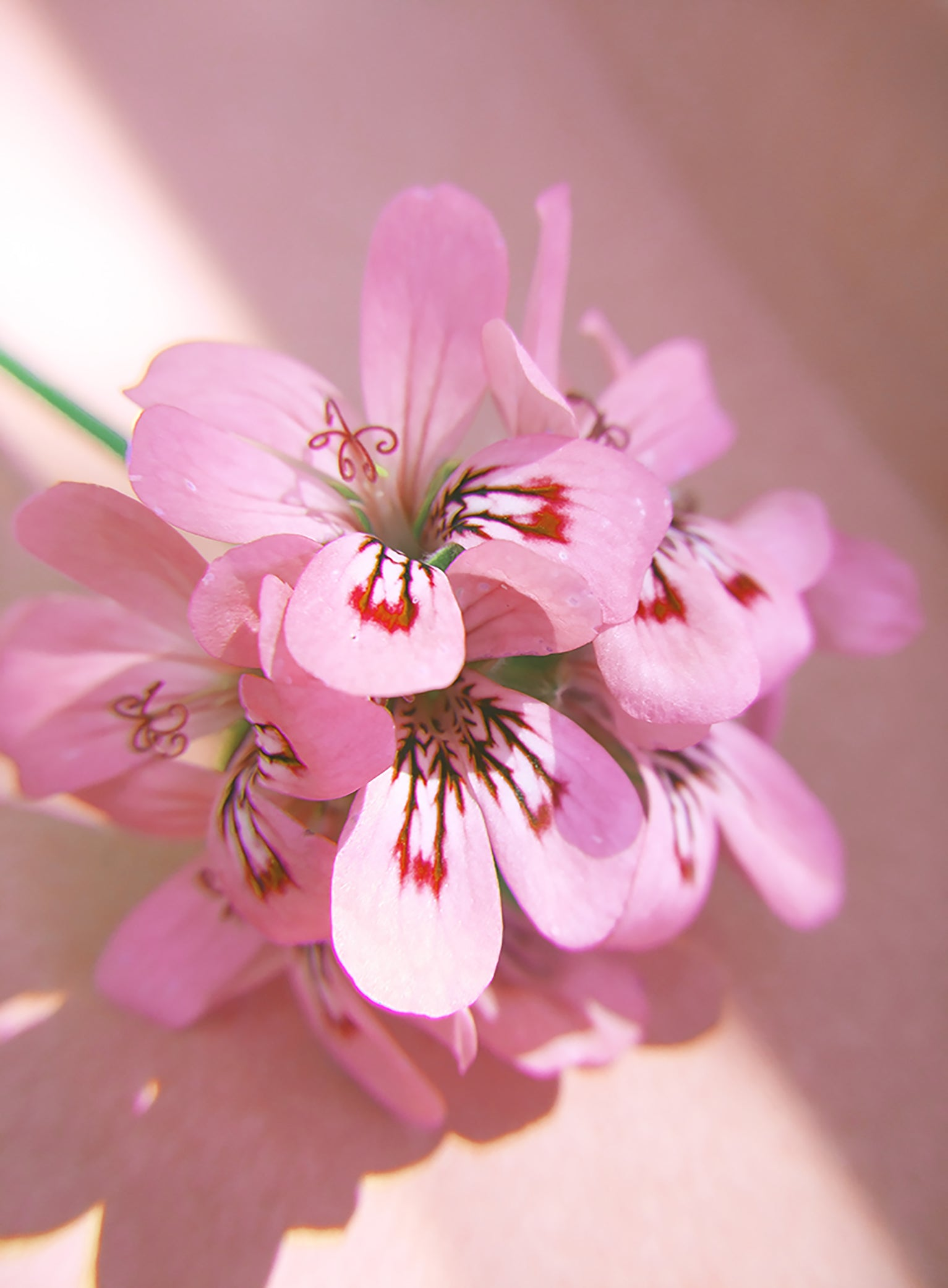 Rose geranium facial oil