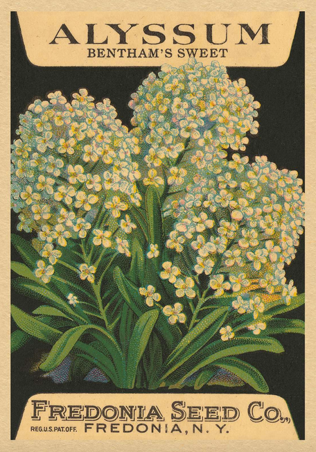 Card - alyssum seed packet