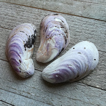 Load image into Gallery viewer, 3 PURPLE MUSSEL SHELLS