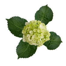 Load image into Gallery viewer, Mini Green Hydrangea Case