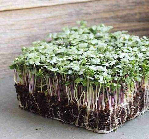 Spicy Salad Mix Microgreens Seeds,Contains Broccoli, Kale, Kohlrabi, Arugula, Red Cabbage,300+ Premium Heirloom Seeds,Indoors or Outdoors!,(Isla's Garden Seeds),Non GMO,85-90% Germination,