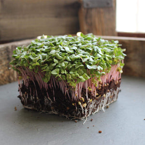 Radish Sprouting Seed - Red Arrow Variety - 1 Lb Seed Pouch - Heirloom Radish Sprouts - Non-GMO Sprouting and Microgreens