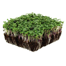 Load image into Gallery viewer, Basic Salad Mix Microgreens Seeds | Non-GMO Micro Green Seed Blend | Broccoli, Kale, Kohlrabi, Cabbage, Arugula, More (1 Pound)