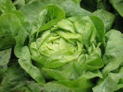 Non GMO Heirloom Lettuce BUTTERCRUNCH Butterhead Lettuce❋4000 SEEDS Most Popular