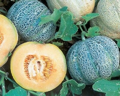 Heirloom MINNESOTA MIDGET MELON Cantaloupe✽100 SEEDS✽Early✽Sweet Juicy