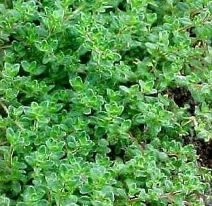 Heirloom Perennial Herb THYME Common English German 2000 SEEDS CulinaryMedicinal