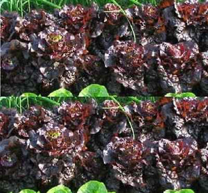 Ruby Red Leaf is Lettuce Seed - Heirloom Non GMO