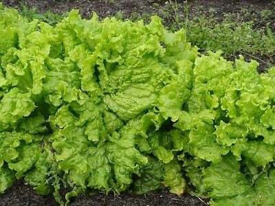 LETTUCE Non GMO Heirloom GRAND RAPIDS 4000 SEEDS Large Green Frilly Looseleaf