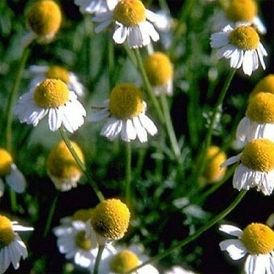 Heirloom Herb GERMAN CHAMOMILE❋2000 SEEDS❋Tea❋Fragrant Small White Daisies
