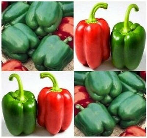 Non GMO Heirloom YOLO WONDER SWEET BELL Pepper 200 SEEDS Large Fruits