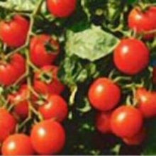 Load image into Gallery viewer, Heirloom SMALL RED CHERRY Tomato 200 SEEDS High Yields Clusters of Tomatoes