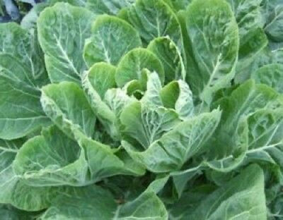Collards, Non-GMO Heirloom Morris Heading Collard Greens 3000 Seeds Vegetable