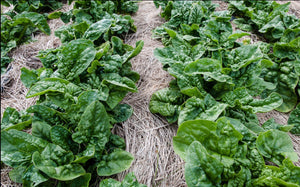 Heirloom Spinach BLOOMSDALE LONG STANDING❋2000 Seeds❋LARGE Leaves❋Slow to Bolt