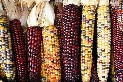 Heirloom INDIAN CORN Ornamental 100 SEEDS High Yields Produce Colorful Large Ears