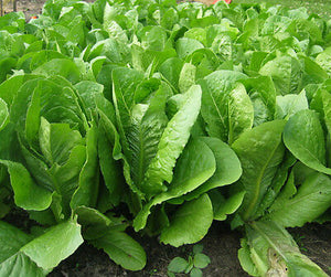Lettuce Non GMO Heirloom ROMAINE LETTUCE Parris Island Cos 4000 SEEDS Vigorous