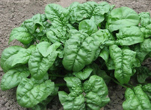 Spinach Heirloom GIANT NOBLE 2000 SEEDS❋Large Slow to Bolt