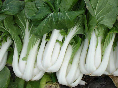 Heirloom Non-GMO PAK CHOI Chinese Cabbage❋BULK 5000 SEEDS (1/2 oz)❋Asian Greens