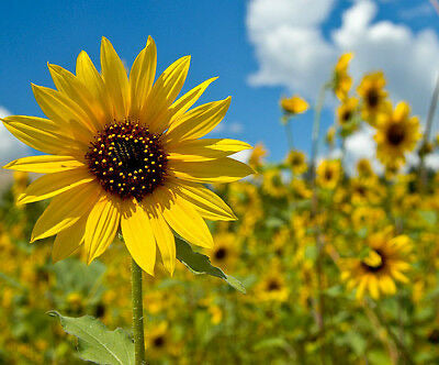 Helianthus annuus WILD SUNFLOWER✿500 SEEDS✿Branching Up to 10 Ft Tall✿Annual