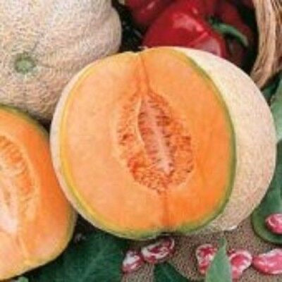 Melon Cantaloupe HONEY ROCK Heirloom 200 SEEDS Extra Sweet Wilt-Resistant Vines