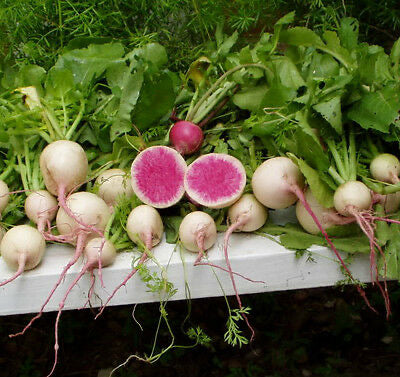 Heirloom RADISH Watermelon 500 SEEDS❋Huge❋Mild Flavor❋Healthy Roots & Greens