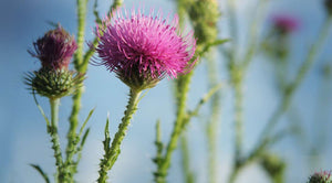 Milk Thistle Tincture 1oz