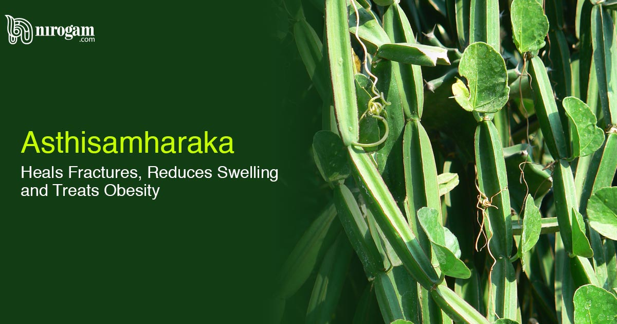 Asthisamharaka, Heals Fractures, Reduces Swelling and Treats Obesity