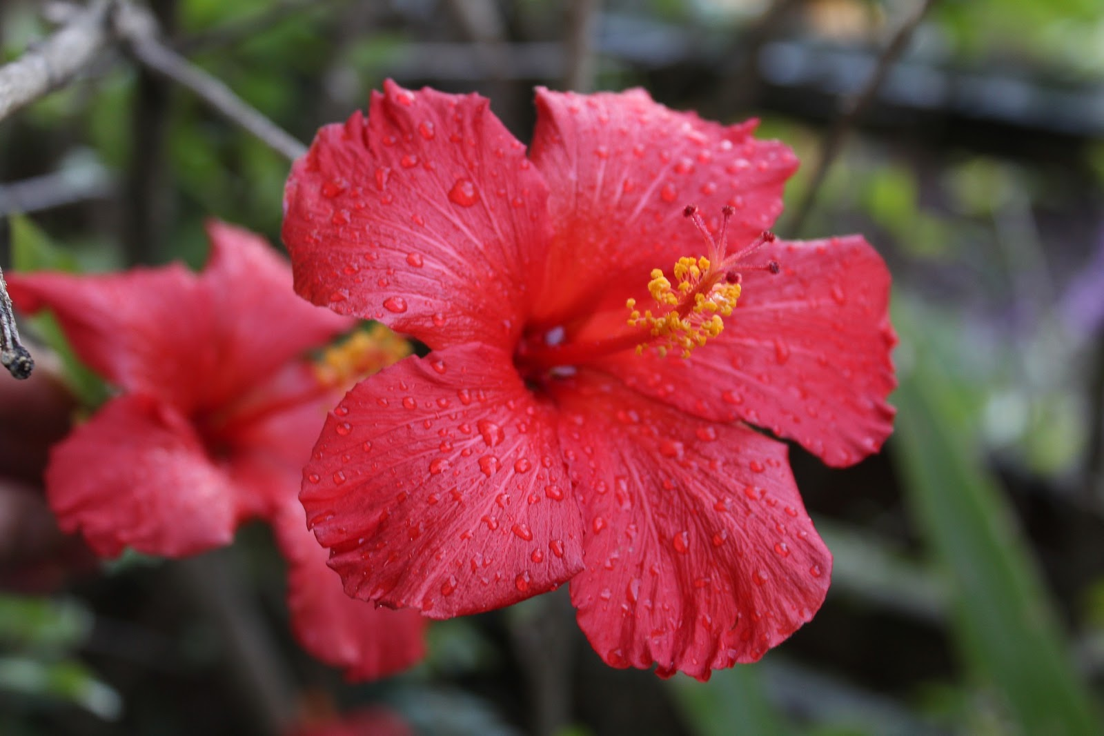 hibiscus ayurvedic herb for diabetes type 2