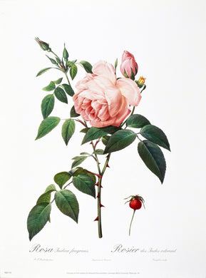 Rosa Indica fragrans by P.J. Redoute