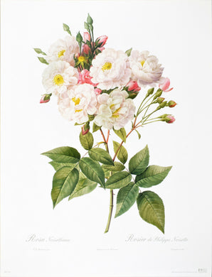 Rosa Noisettiana by P.J. Redoute