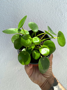 "Pilea Peperomioides - 4"" pot - Dade Plant Company"