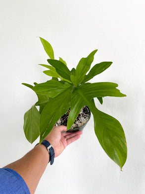 Philodendron Florida Ghost - Dade Plant Company