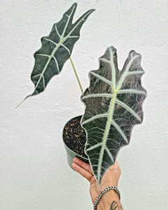 "Alocasia Purpley - 6"" pot - Dade Plant Company"