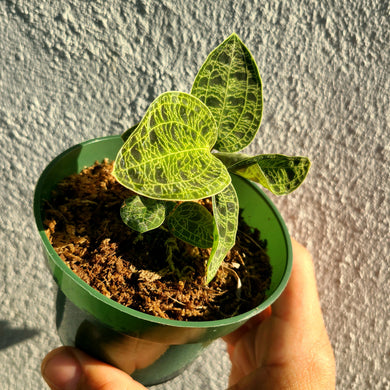 Jewel Orchid - 4